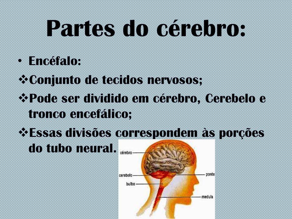 Partes do cérebro: Encéfalo: Conjunto de tecidos nervosos;