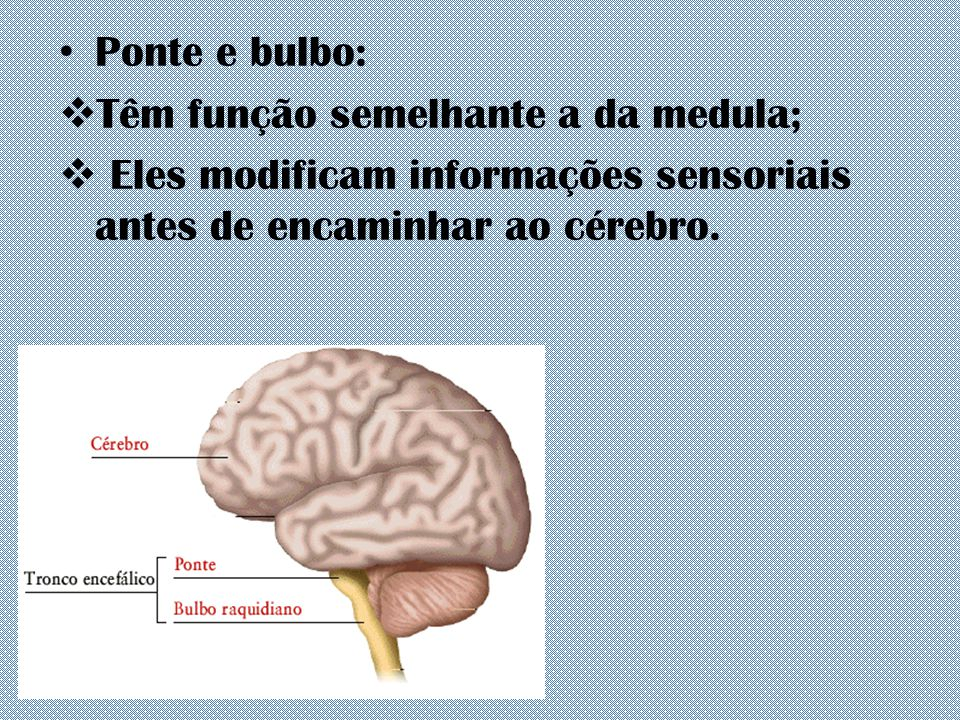 Ponte e bulbo: Têm função semelhante a da medula; Eles modificam informações sensoriais antes de encaminhar ao cérebro.