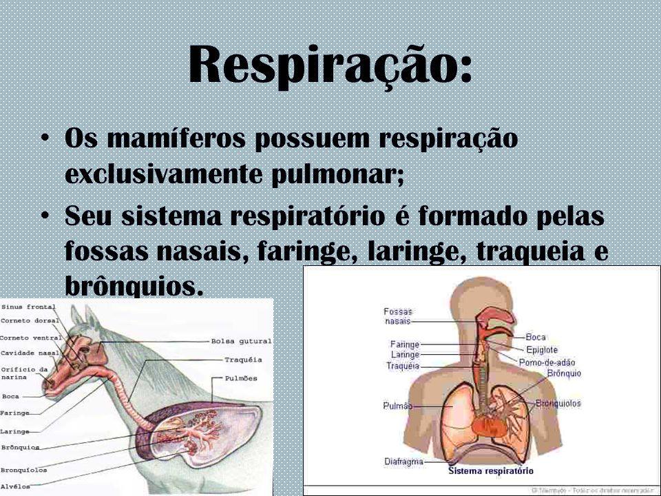 Respiração: Os mamíferos possuem respiração exclusivamente pulmonar;