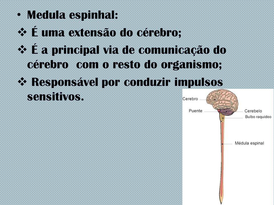 Medula espinhal: É uma extensão do cérebro; É a principal via de comunicação do cérebro com o resto do organismo;