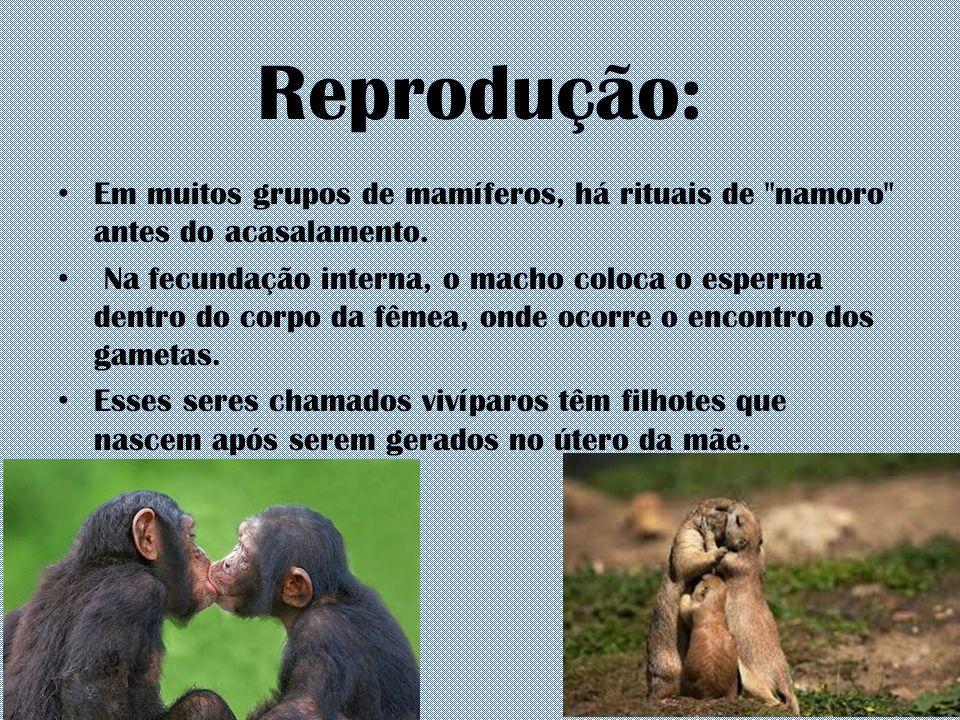 Reprodução: Em muitos grupos de mamíferos, há rituais de namoro antes do acasalamento.