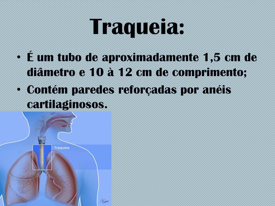 Traqueia: É um tubo de aproximadamente 1,5 cm de diâmetro e 10 à 12 cm de comprimento; Contém paredes reforçadas por anéis cartilaginosos.