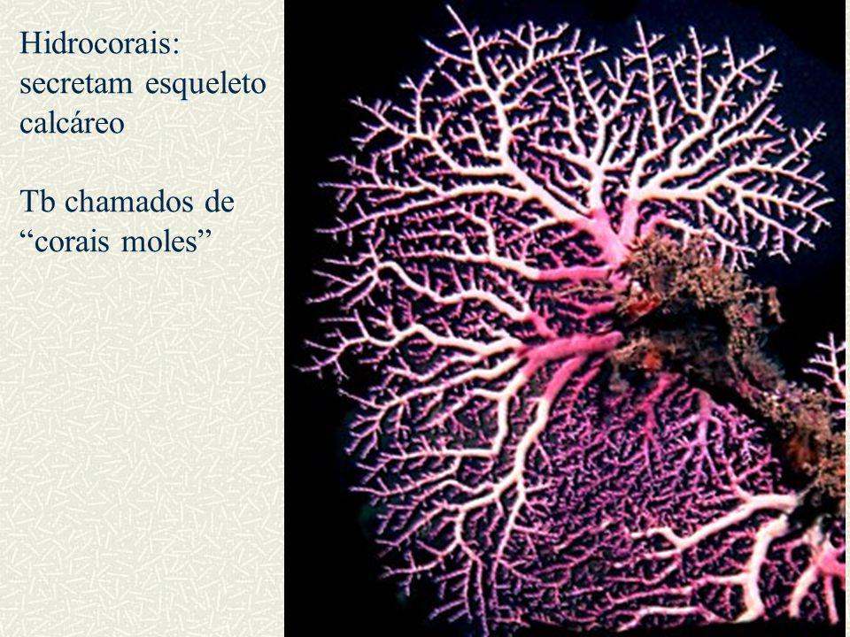 Hidrocorais: secretam esqueleto calcáreo Tb chamados de corais moles