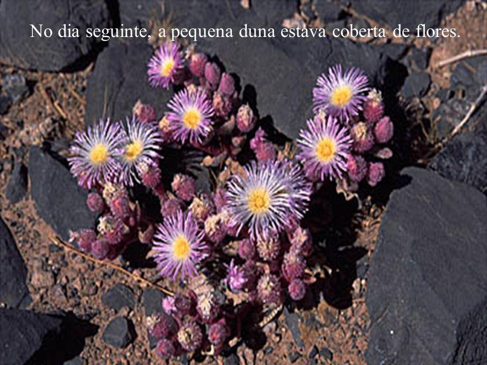 No dia seguinte, a pequena duna estava coberta de flores.
