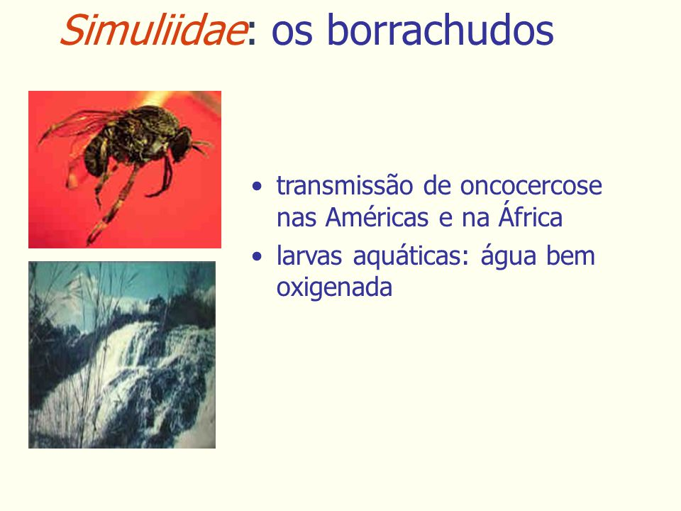 Simuliidae: os borrachudos