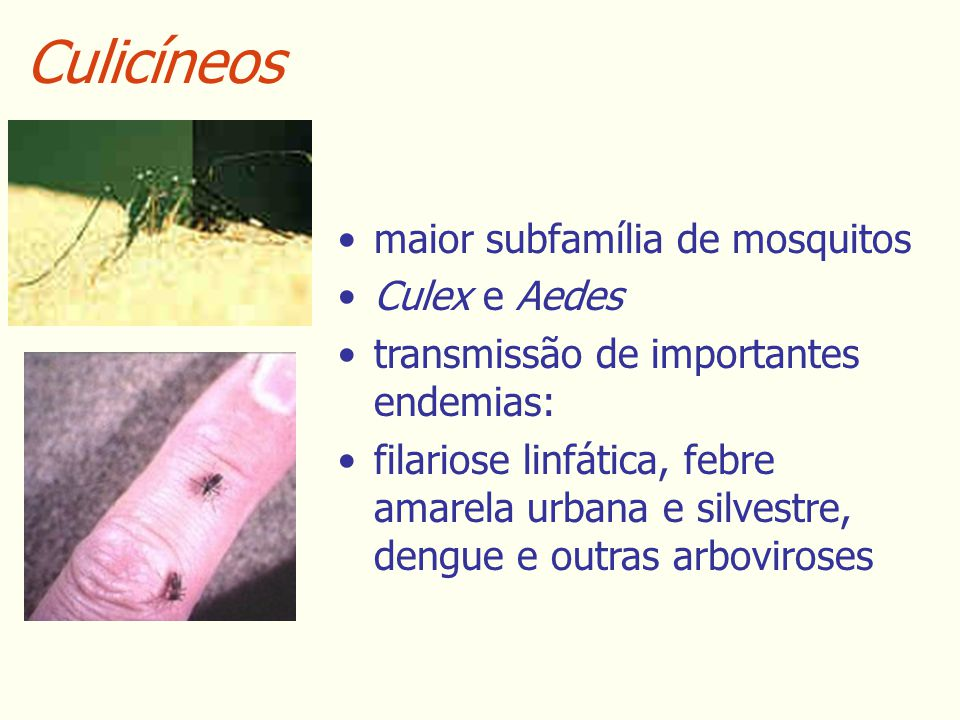 Culicíneos maior subfamília de mosquitos Culex e Aedes