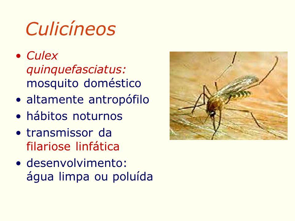 Culicíneos Culex quinquefasciatus: mosquito doméstico