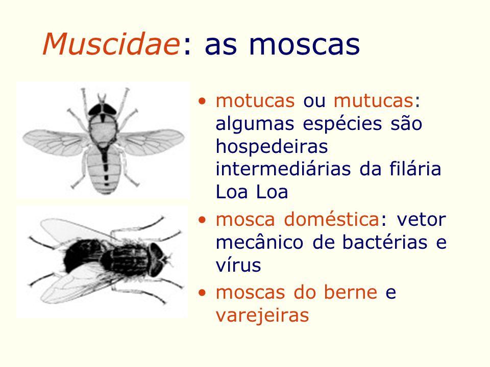 Muscidae: as moscas motucas ou mutucas: algumas espécies são hospedeiras intermediárias da filária Loa Loa.