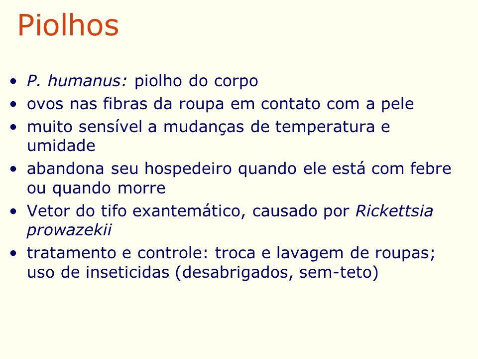 Piolhos P. humanus: piolho do corpo