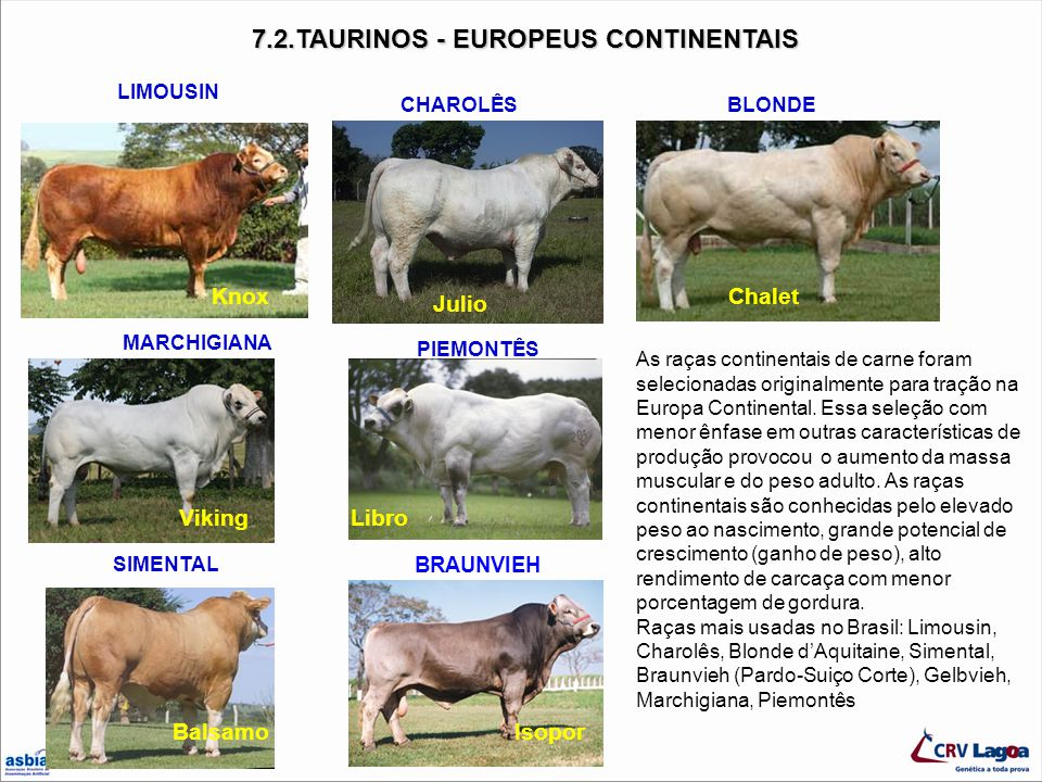7.2.TAURINOS - EUROPEUS CONTINENTAIS