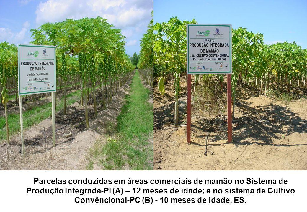 Parcelas conduzidas em áreas comerciais de mamão no Sistema de Produção Integrada-PI (A) – 12 meses de idade; e no sistema de Cultivo Convêncional-PC (B) - 10 meses de idade, ES.
