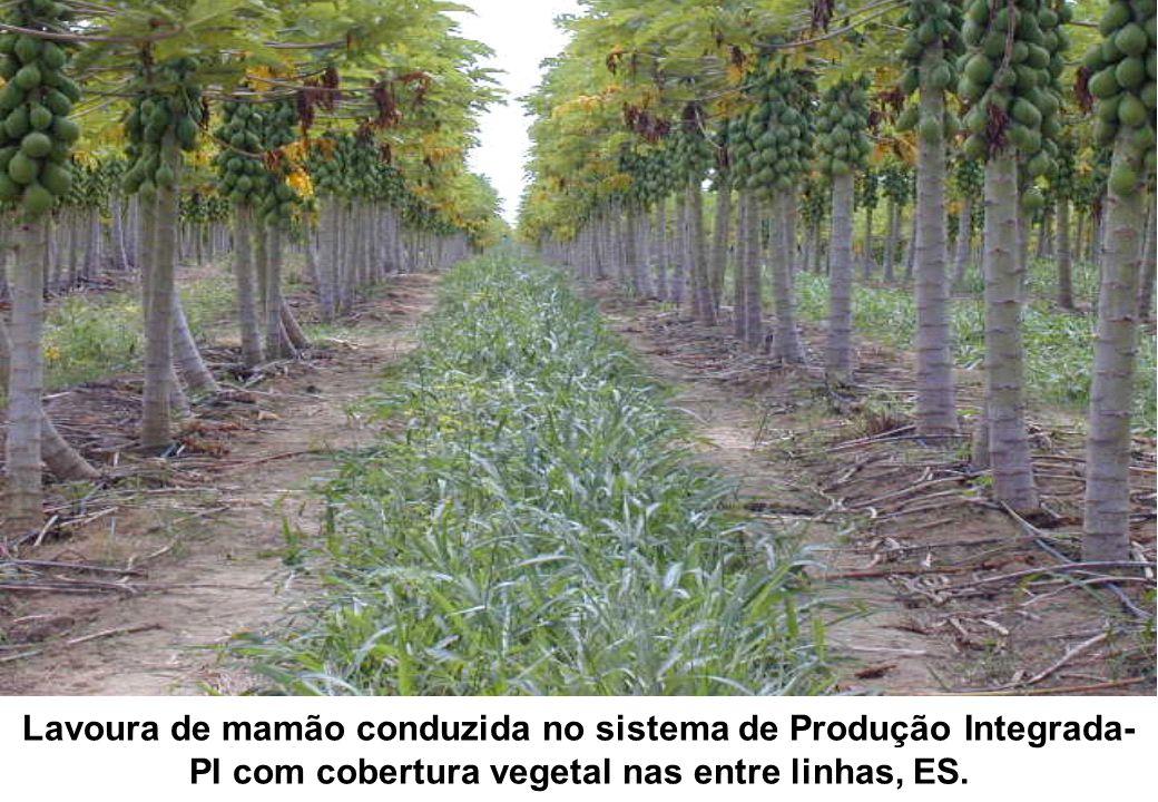 Lavoura de mamão conduzida no sistema de Produção Integrada-PI com cobertura vegetal nas entre linhas, ES.