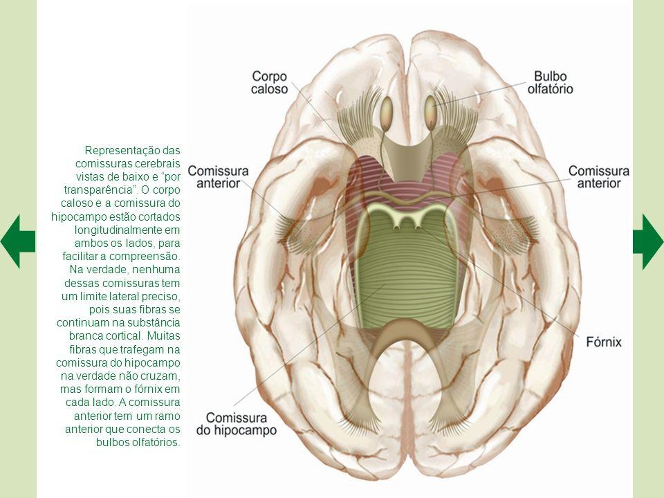 Representação das comissuras cerebrais vistas de baixo e por transparência . O corpo