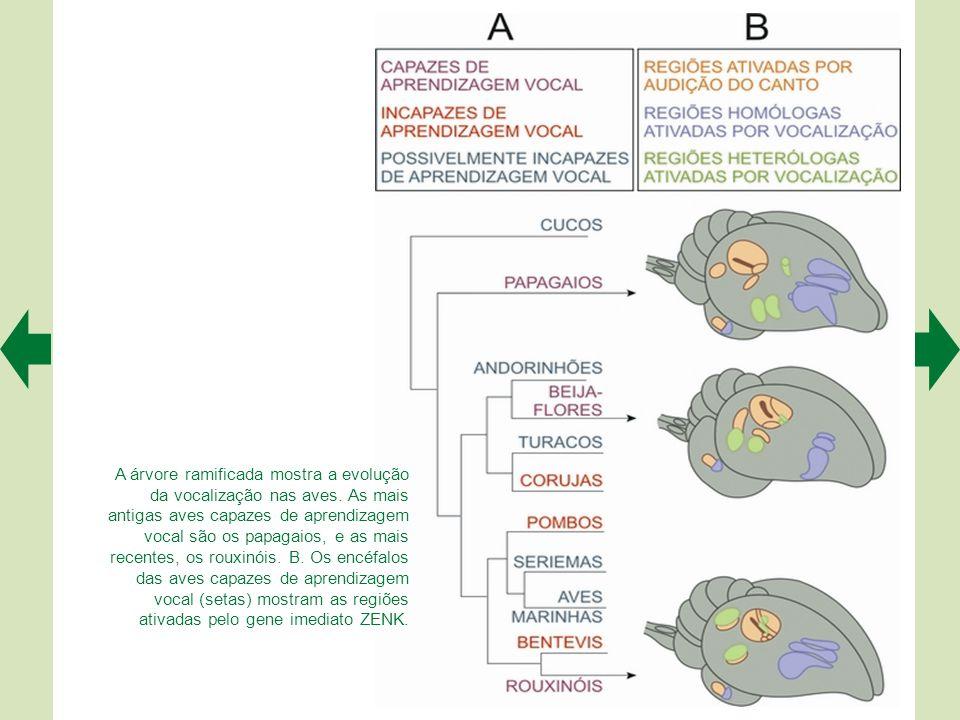A árvore ramificada mostra a evolução da vocalização nas aves