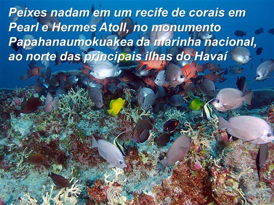Peixes nadam em um recife de corais em Pearl e Hermes Atoll, no monumento Papahanaumokuakea da marinha nacional, ao norte das principais ilhas do Havaí
