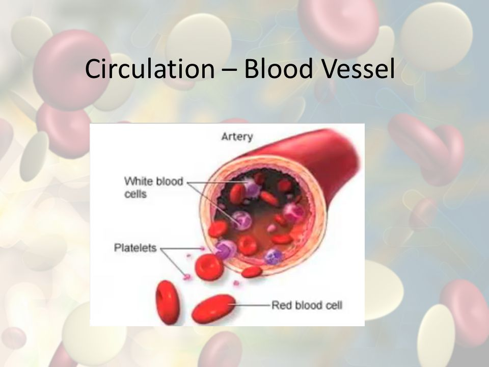 Circulation – Blood Vessel
