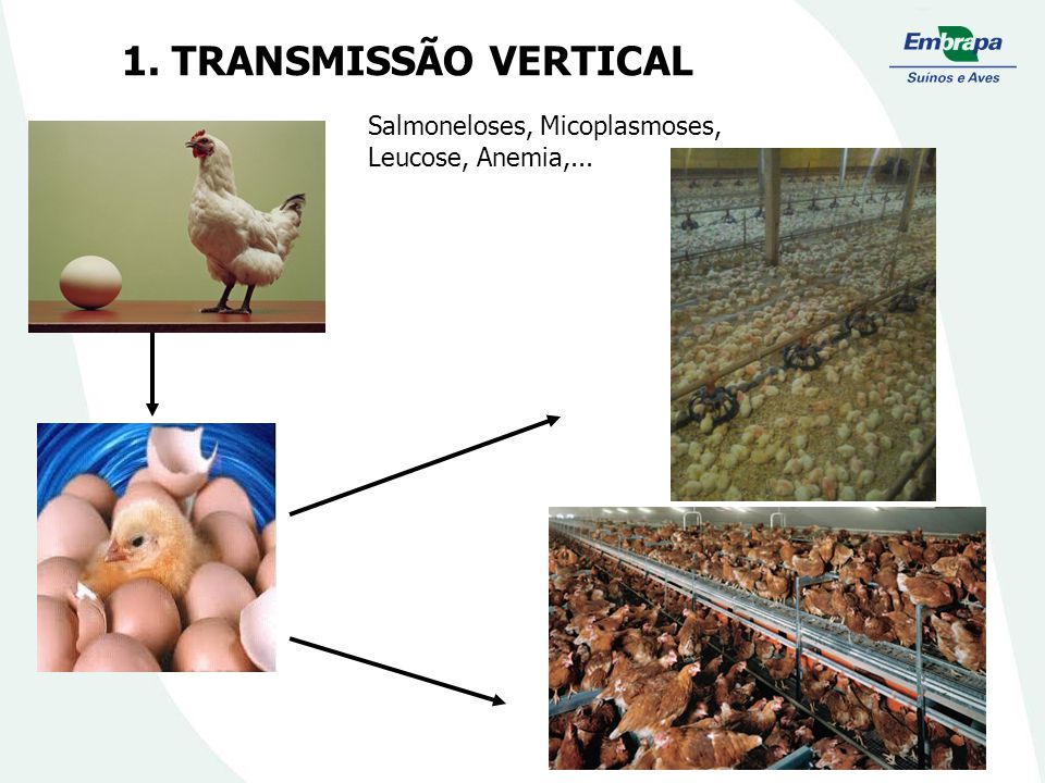 1. TRANSMISSÃO VERTICAL Salmoneloses, Micoplasmoses, Leucose, Anemia,...