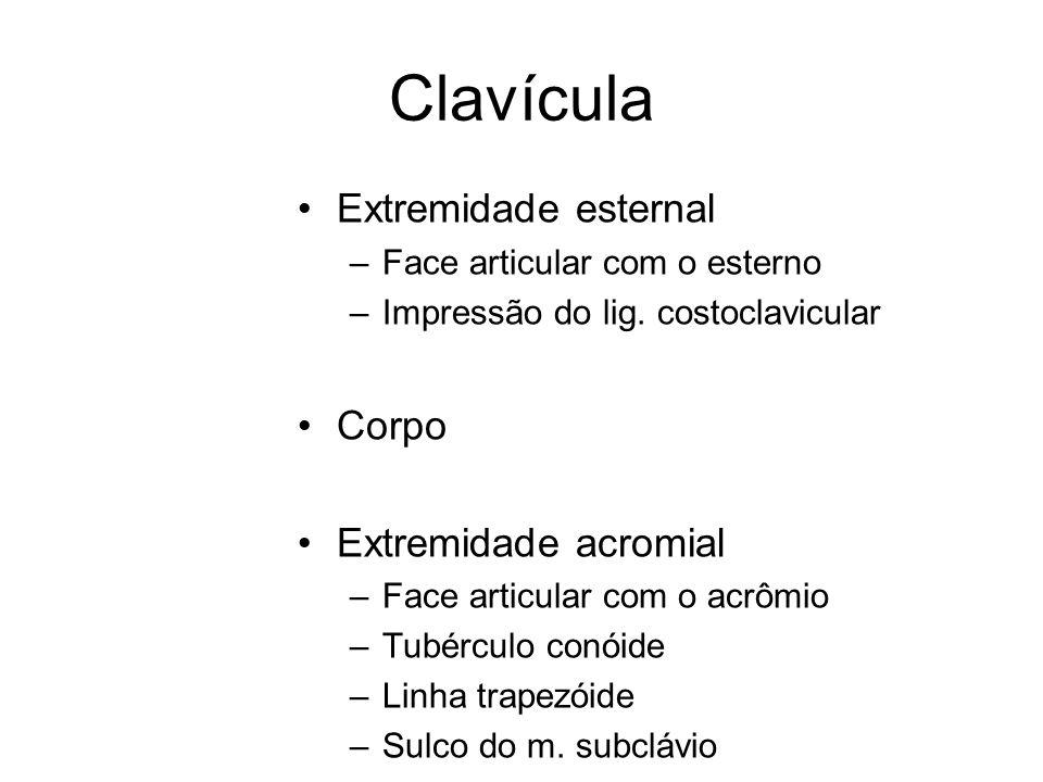 Clavícula Extremidade esternal Corpo Extremidade acromial
