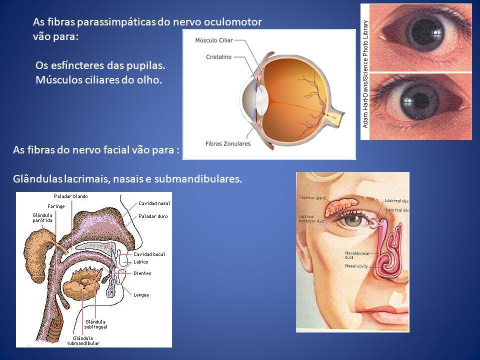 As fibras parassimpáticas do nervo oculomotor vão para: