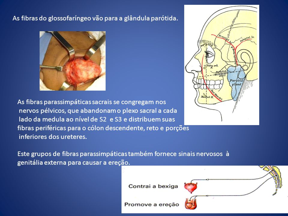 As fibras do glossofaríngeo vão para a glândula parótida.