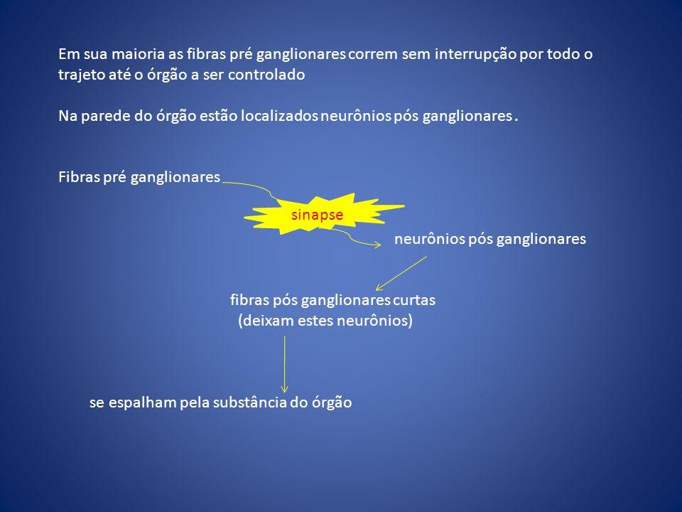 Em sua maioria as fibras pré ganglionares correm sem interrupção por todo o trajeto até o órgão a ser controlado