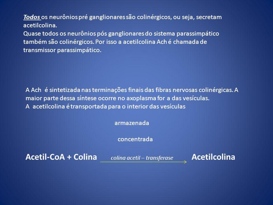 Acetil-CoA + Colina colina acetil – transferase Acetilcolina
