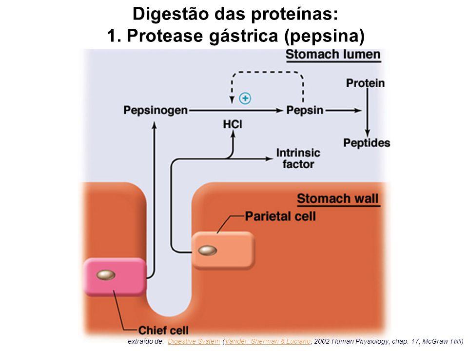 Digestão das proteínas: 1. Protease gástrica (pepsina)