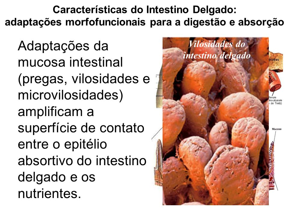 Características do Intestino Delgado: