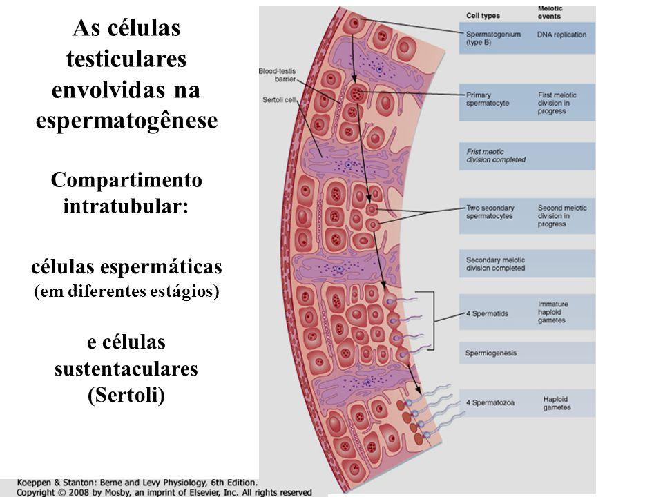 As células testiculares envolvidas na espermatogênese