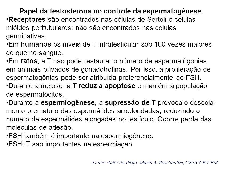 Papel da testosterona no controle da espermatogênese: