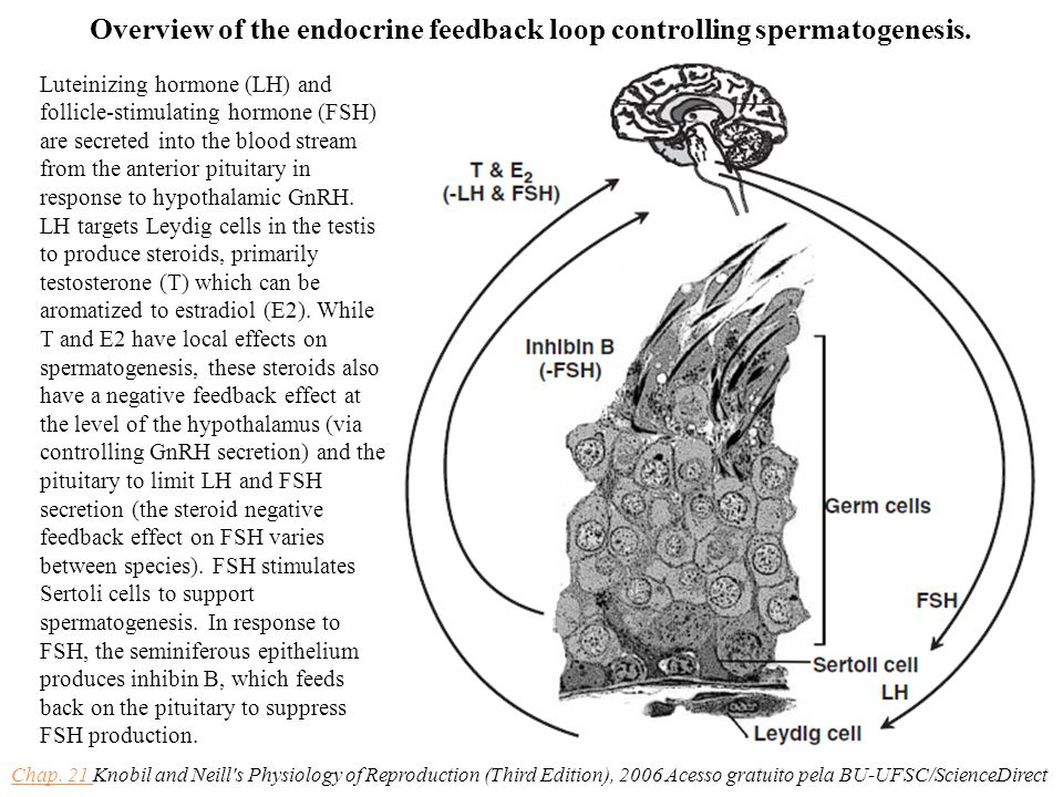 Overview of the endocrine feedback loop controlling spermatogenesis.