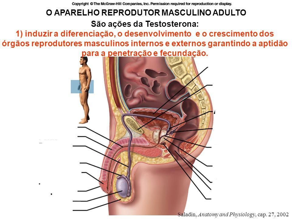 O APARELHO REPRODUTOR MASCULINO ADULTO São ações da Testosterona: