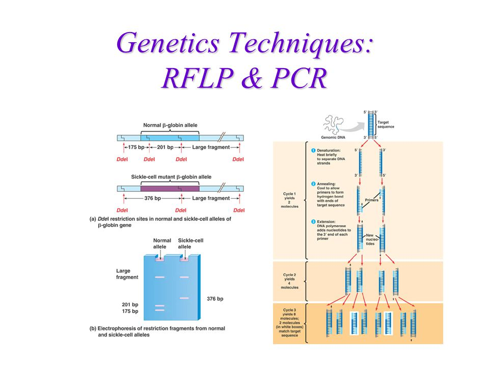Genetics Techniques: RFLP & PCR