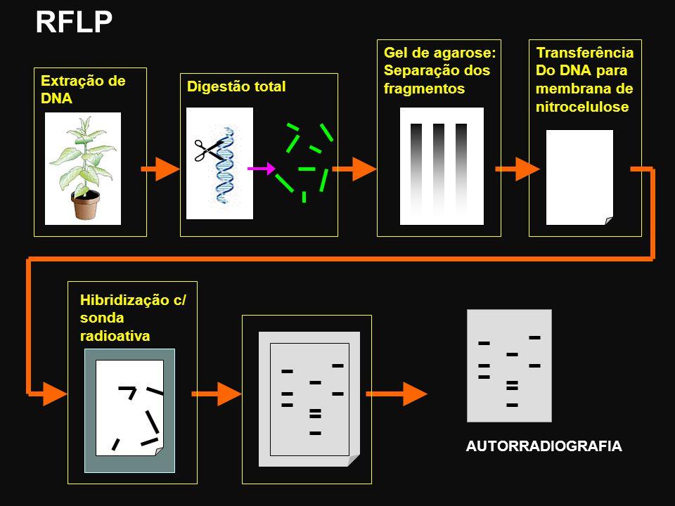RFLP  Gel de agarose: Separação dos fragmentos Transferência