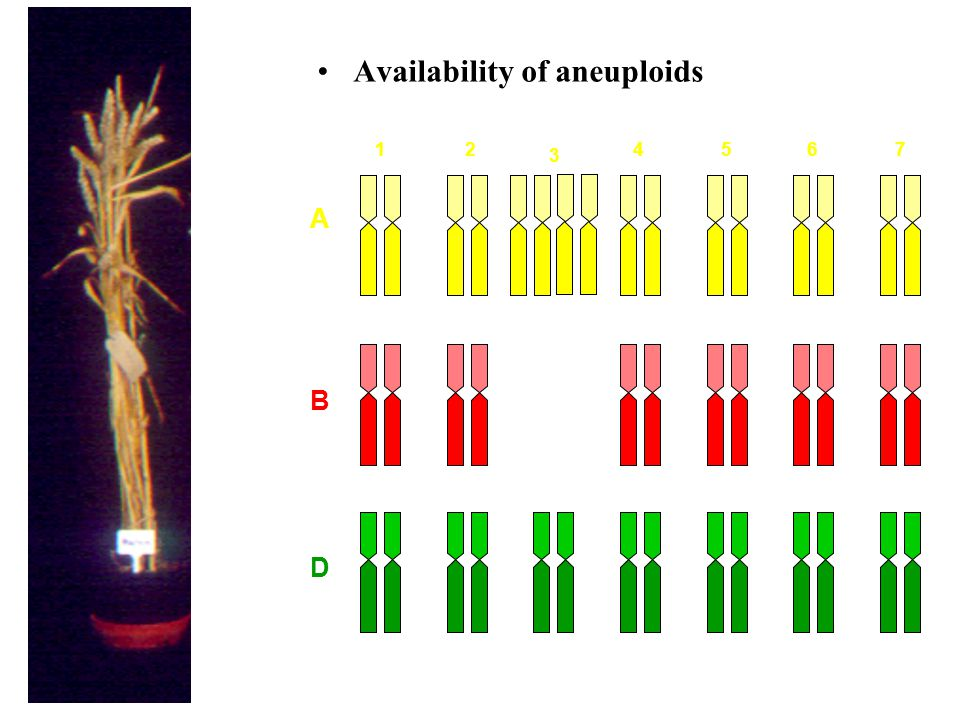Availability of aneuploids