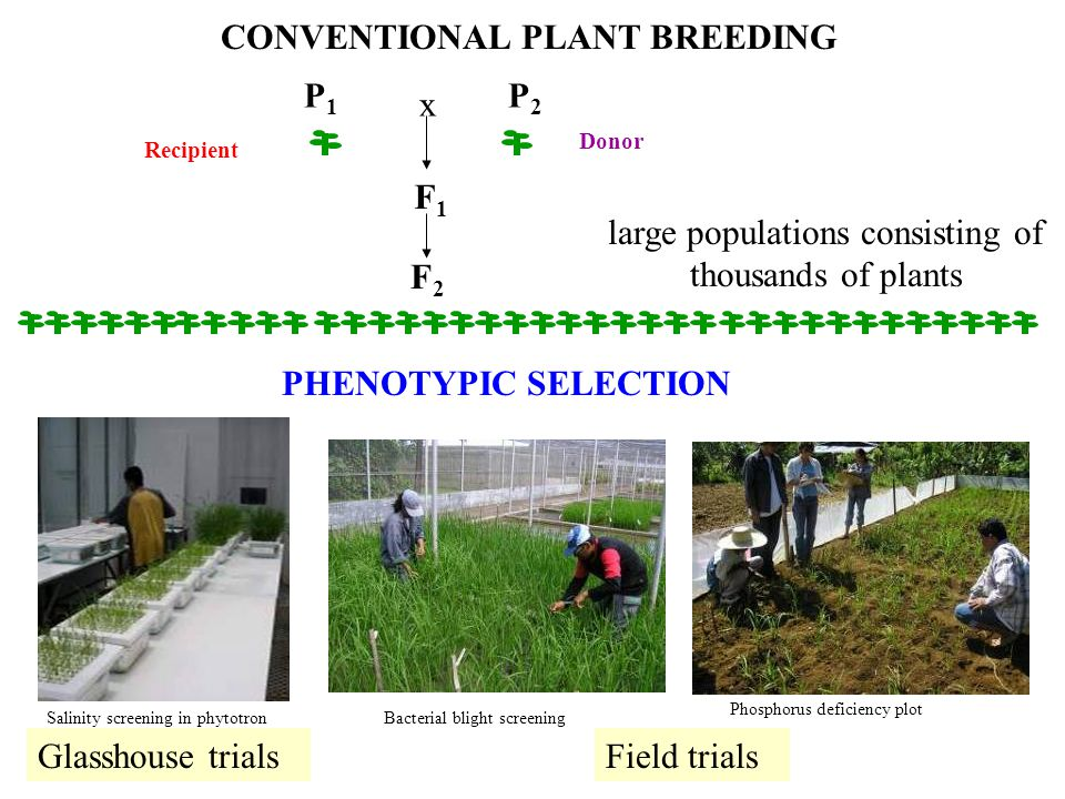 CONVENTIONAL PLANT BREEDING