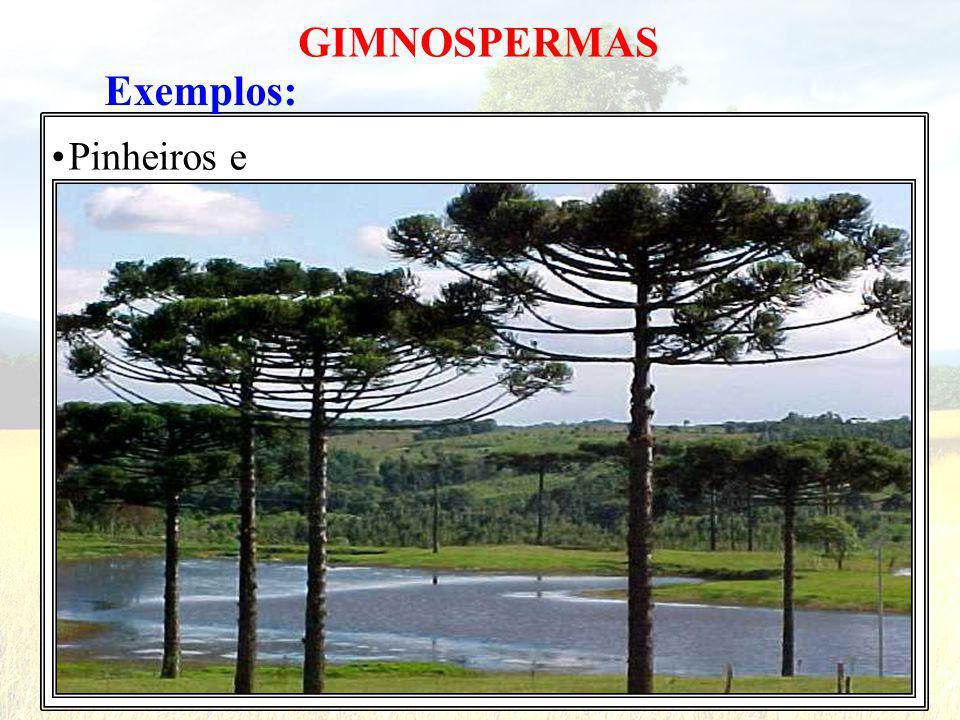 GIMNOSPERMAS Exemplos: • Pinheiros e