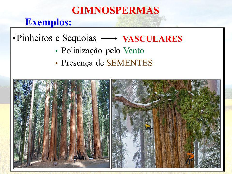GIMNOSPERMAS Exemplos: • Pinheiros e Sequoias VASCULARES