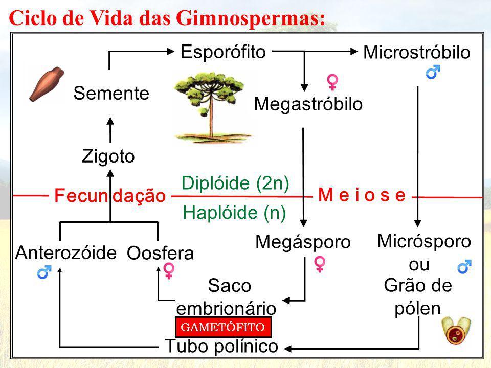 Ciclo de Vida das Gimnospermas: