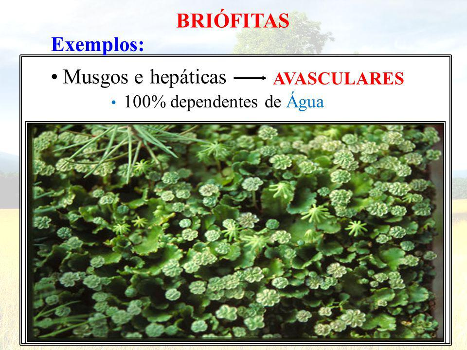 BRIÓFITAS Exemplos: • Musgos e hepáticas AVASCULARES