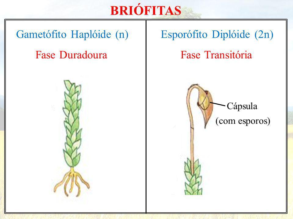 BRIÓFITAS Gametófito Haplóide (n) Esporófito Diplóide (2n)