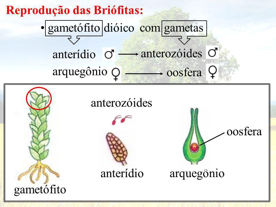 Reprodução das Briófitas:
