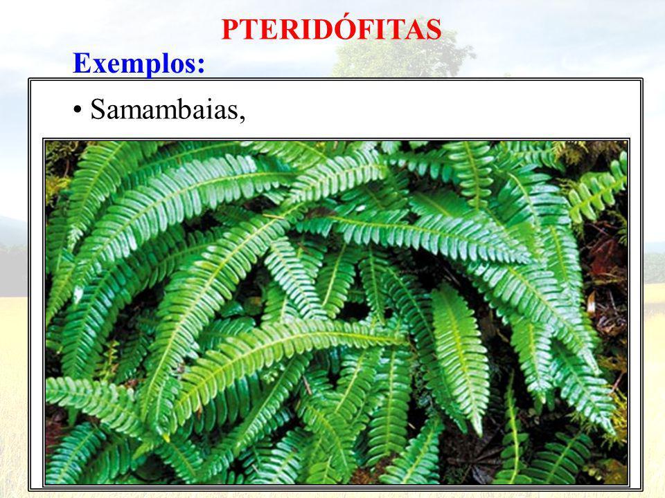 PTERIDÓFITAS Exemplos: • Samambaias,
