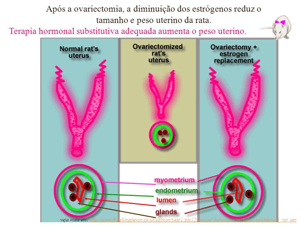 Após a ovariectomia, a diminuição dos estrógenos reduz o