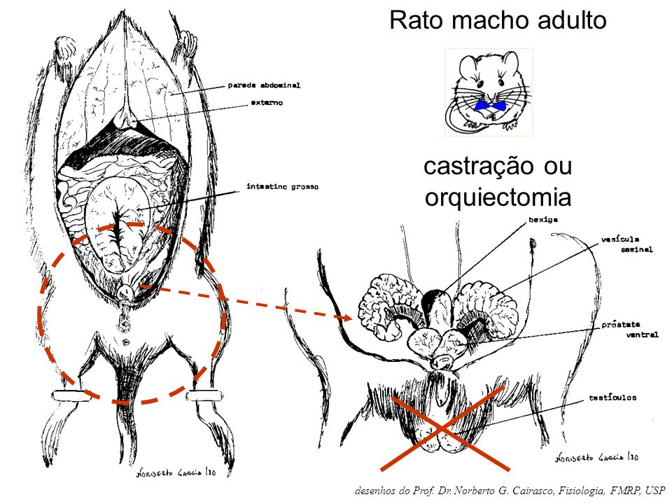 castração ou orquiectomia
