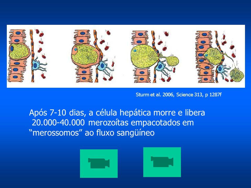 Após 7-10 dias, a célula hepática morre e libera