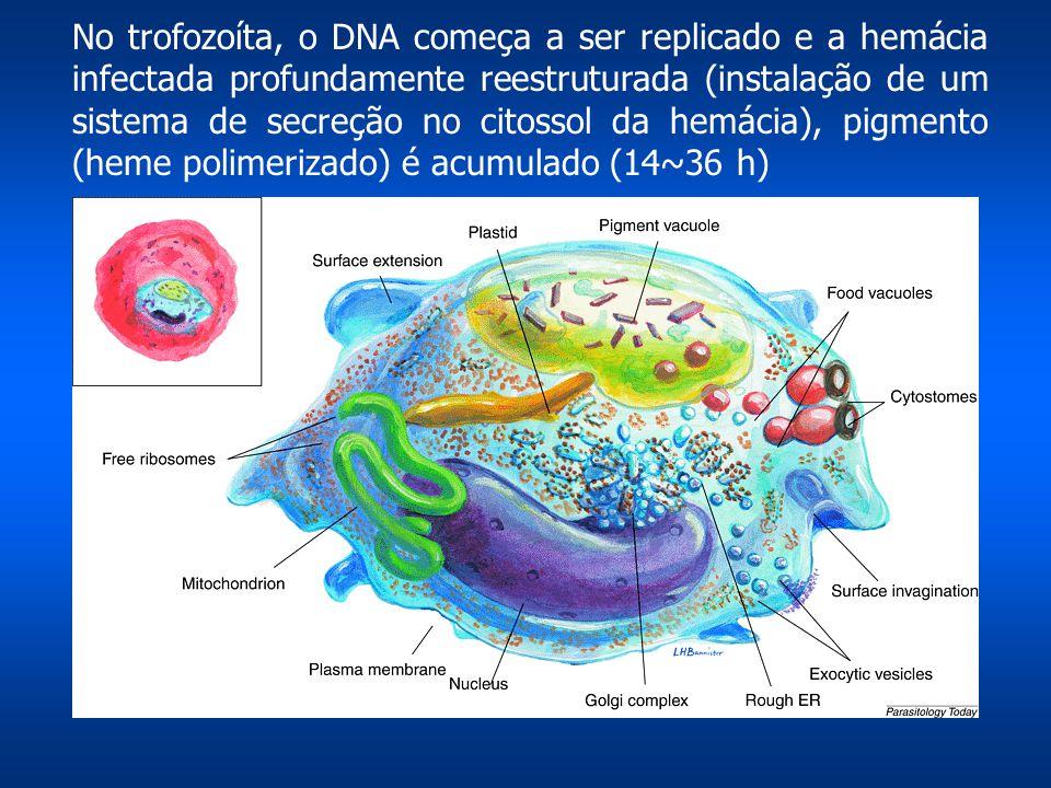 No trofozoíta, o DNA começa a ser replicado e a hemácia infectada profundamente reestruturada (instalação de um sistema de secreção no citossol da hemácia), pigmento (heme polimerizado) é acumulado (14~36 h)