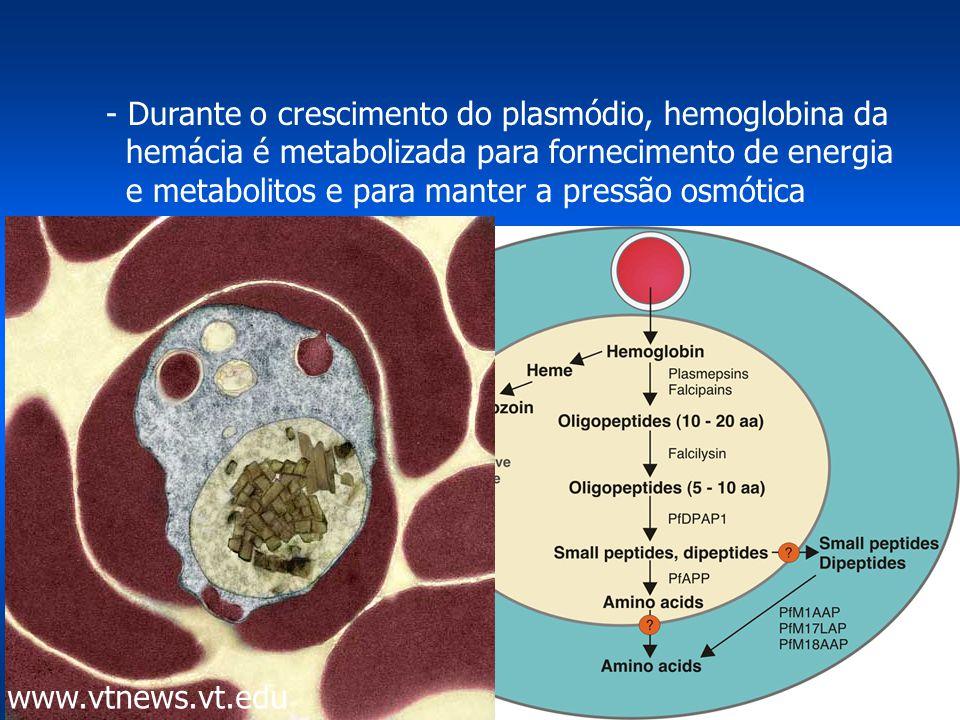 - Durante o crescimento do plasmódio, hemoglobina da