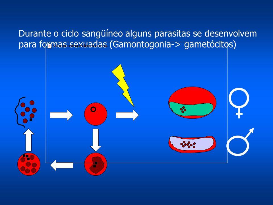 Durante o ciclo sangüíneo alguns parasitas se desenvolvem