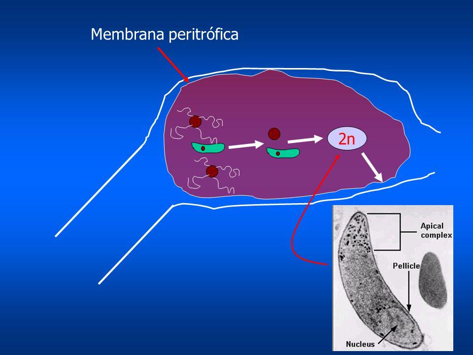 Membrana peritrófica 2n